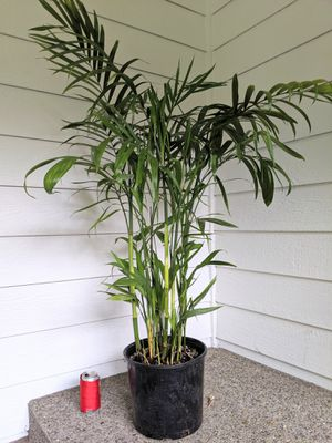 Bamboo Palm Plants- Real Indoor House Plant for Sale in Auburn, WA