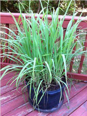 """Live Lemongrass plant - 3 separate plants fit 4"""" pot - Non-GMO - Organic - Fever Grass, Cymbopogon Citratus for Sale in Modesto, CA"""
