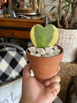 Variegated Hoya Kerri, sweetheart plant for Sale in Hayward, CA