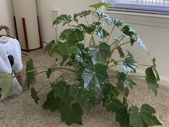 Begonia for Sale in Trenton,  NJ