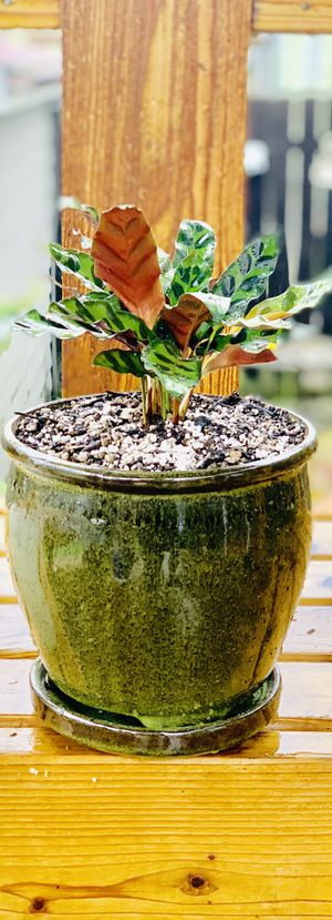 Live indoor Calathea Lancifolia (Rattlesnake) house plant In a ceramic planter flower pot with attached base—firm price for Sale in Seattle, WA