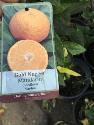 Mandarin tree for Sale in San Bernardino, CA