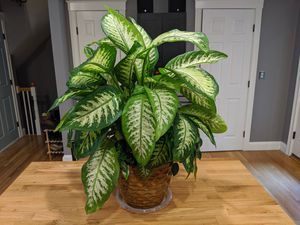 Large dieffenbachia plant in glazed pot for Sale in Somerville, MA