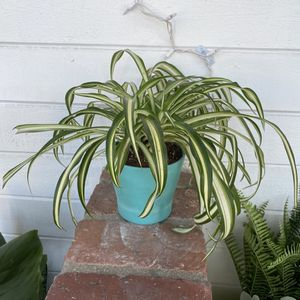 Beautiful Spider Plant With Planter for Sale in Costa Mesa, CA