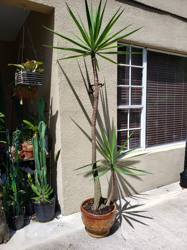 Beautiful plant on ceramic pot 9 feet tall