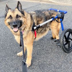 Walkin' Wheels Large Dog Wheelchair for Sale in Bonney Lake,  WA