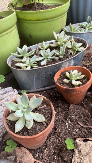 Jade and echeveria succulents cactus plants for Sale in San Bernardino, CA