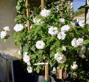 WHITE ROSALES TREE for Sale in Santa Ana, CA