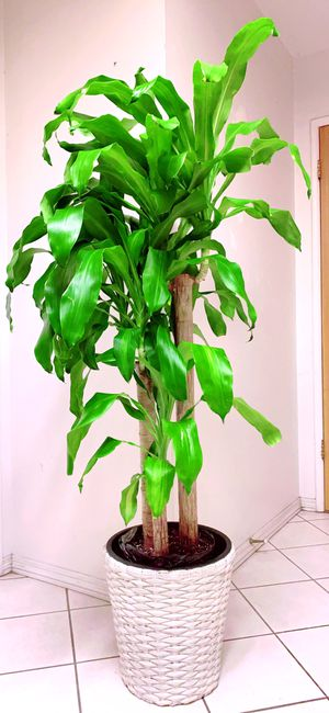 "Big and Tall Dracaena Mass Canes on Curly Leaves/Thiết mộc Lan/Cây phát tài/5'4"" Tall - Basket Planter Not Included for Sale in Garden Grove, CA"