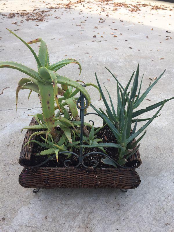 Organic Aloe Vera Basket Planter Succulents Medicine Houseplant