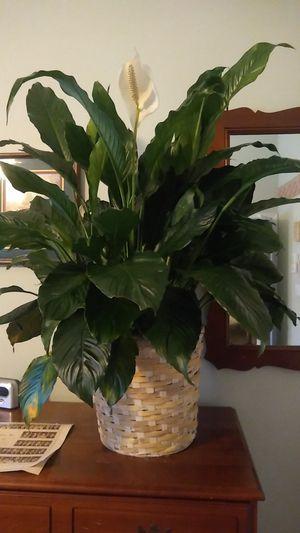 Peace lily, live plant for Sale in O'Fallon, IL