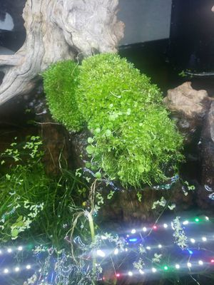 True moss aquascaping for Sale in Victorville, CA