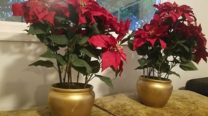 Poinsettia plant for Sale in Middletown, NJ