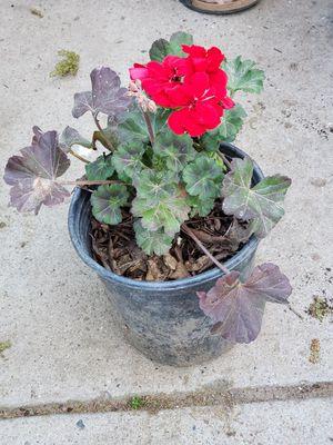 Red geranium for Sale in Fresno, CA