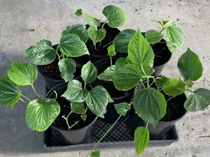 Betel leaf plant for Sale in Anaheim, CA