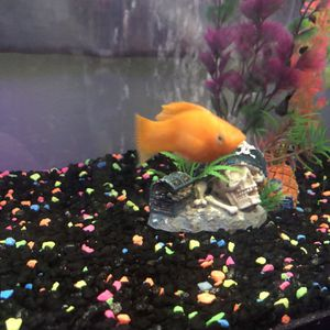 Fishes: 3 Glow dark, 1 Molly Fish, and 1 Guppy for Sale in Montclair, CA