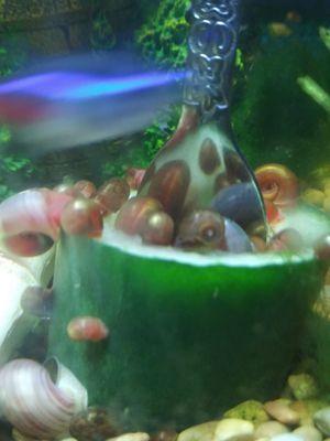 Fancy Ramshorn snails for Sale in Decatur, MI