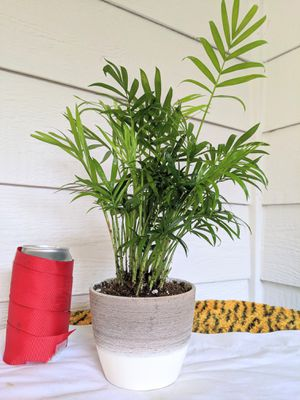 Parlor Palm Plants in Ceramic Planter Pot- Real Indoor House Plant for Sale in Auburn, WA