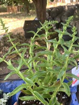 Succulent for Sale in La Habra, CA