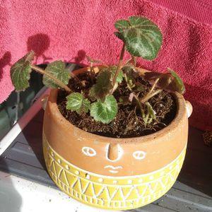 Strawberry Begonia Plants In terra Cotta Pot for Sale in Colorado Springs, CO