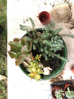 BEAUTIFUL Succulent arrangement for Sale in Pflugerville, TX