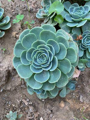 Succulent plant for Sale in Modesto, CA