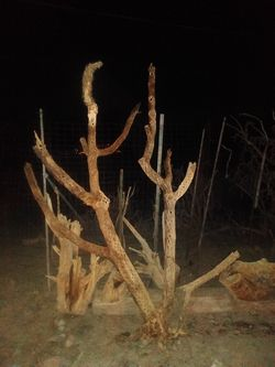 Cholla Cactus Wood Cleaned Natural for Sale in Tucson,  AZ