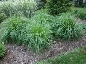 Fountain Grass for Sale in Butler, PA
