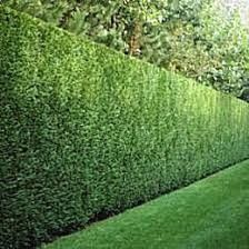 10 PACK 10 to 12 Inches Tall Starter HEDGE PRIVACY THUJA GREEN GIANT Tree for Sale in Fresno,  CA