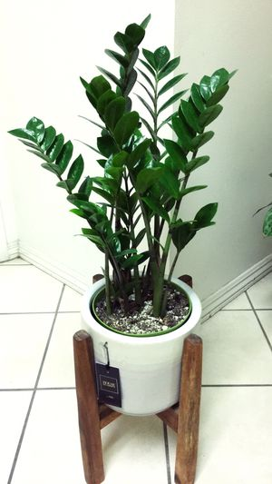 ZZ Plants - Planter Not Including for Sale in Garden Grove, CA