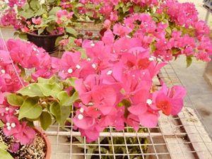 Bougainvillea plant for Sale in Stuart, FL