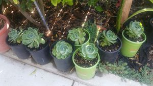 Succulent for Sale in Visalia, CA