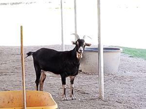 Male Goat for Sale in Waddell, AZ