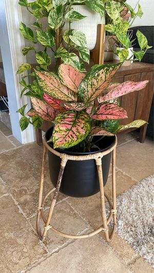 """**PENDING**6"""" Pink Evergreen with Plant Holder for Sale in San Diego, CA"""
