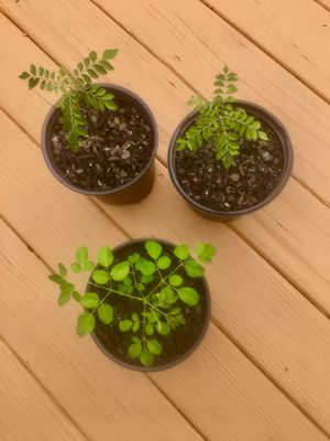 Curry plants and Moringa plants. $10 each. for Sale in South Riding, VA