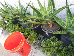 Plants small $2 medium 3 large 5 for Sale in CRYSTAL CITY, CA