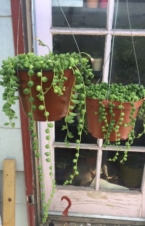 String of Pearls & string of Tears Succulent for Sale in Fresno, CA