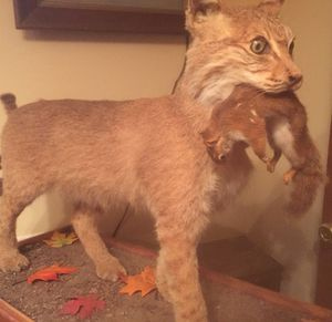Bobcat Taxidermy for Sale in Gum Spring, VA