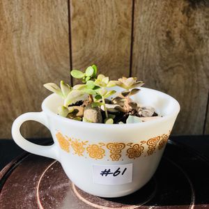#61. Assorted baby size succulents in teacup for Sale in Chicago, IL