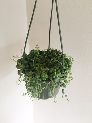 String of pearls- Indoor plant for Sale in Vancouver, WA