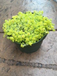 Yellow Succulent Plant for Sale in San Marcos, CA