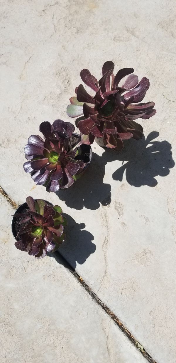 Tree Aeonium Arboreum (Black Rose Succulent) live plant cutting