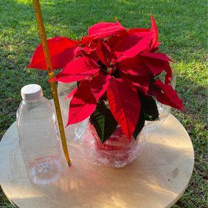 Poinsettia, Noche Buena for Sale in Baldwin Park, CA