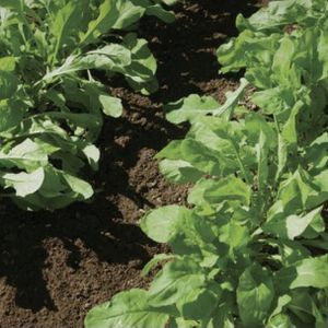 $1 Each Arugula, Lettuce for Sale in Silverado, CA