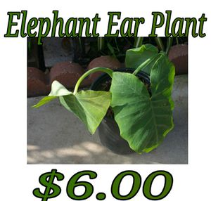 Elephant ear plant - last one for Sale in Hacienda Heights, CA