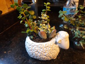 Sweet little sheep planter with assorted succulents for Sale in Chandler, AZ