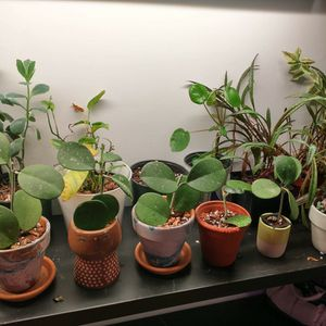 Various Hoya Obovata for Sale in Binghamton, NY