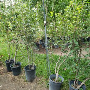 Apple Tree for Sale in Pasadena, CA