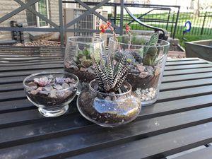 Succulent arrangements for Sale in Lakewood, CO