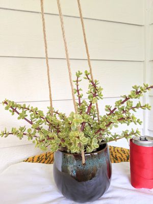 Rainbow Baby Jade/ Elephant Bush Succulent Plants in Hanging Ceramic Planter Pot- Real Indoor House Plant for Sale in Auburn, WA